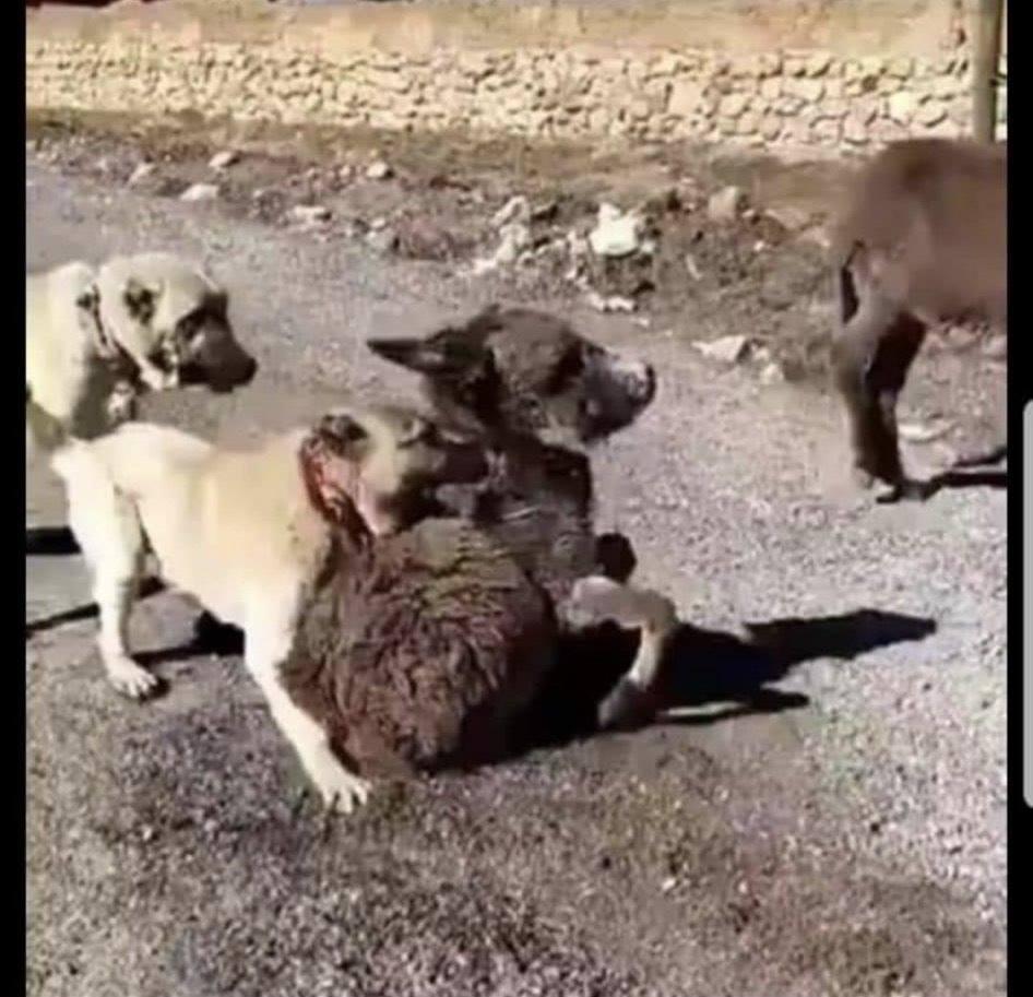 Haymana'dan Kurtarıp Emekli Hayvanlar Çiftliğine Aldığımız Eşek