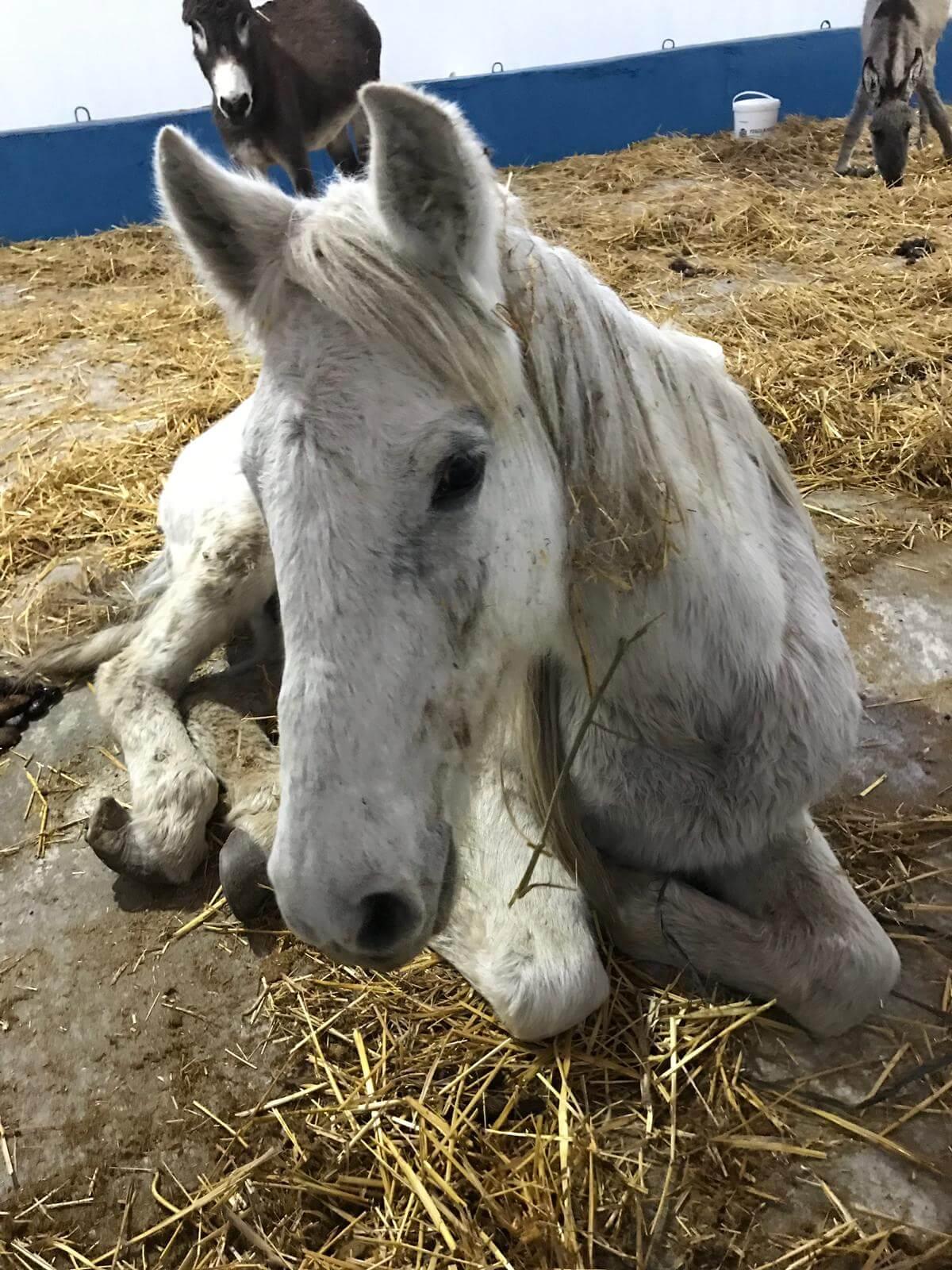 Ayağı Kırılınca Terk Edilen Beyaz Atımız Filiz
