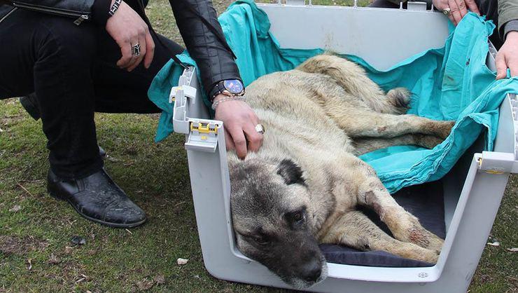 Sivas'ta Haytap sırtına kürekle vurulan yaralı köpeği iyileştirmek için seferber oldu