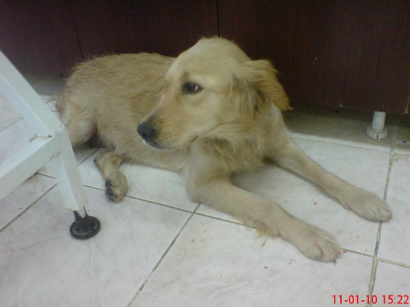 Daisy Terkedilen Bir Golden. Tarfik Kazası Gerçirdi, Haytap Tedavilerini Yaptırdı ve Sahiplendirdi.