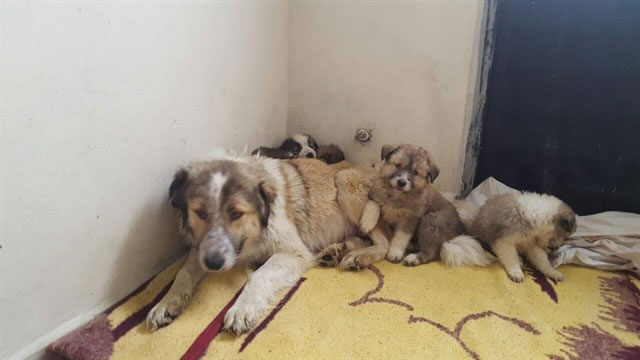 Van'da Kurşunlanan Köpeği Haytap Kurtardı