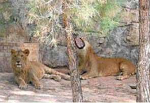 Mafyanın  özel mülkünde Aslan beslemesi engellendi